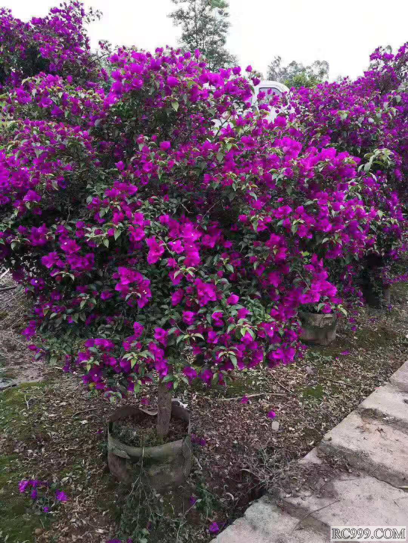 包种活的花,花期长的花,四季都开的花喜欢就找幸福花卉吧,